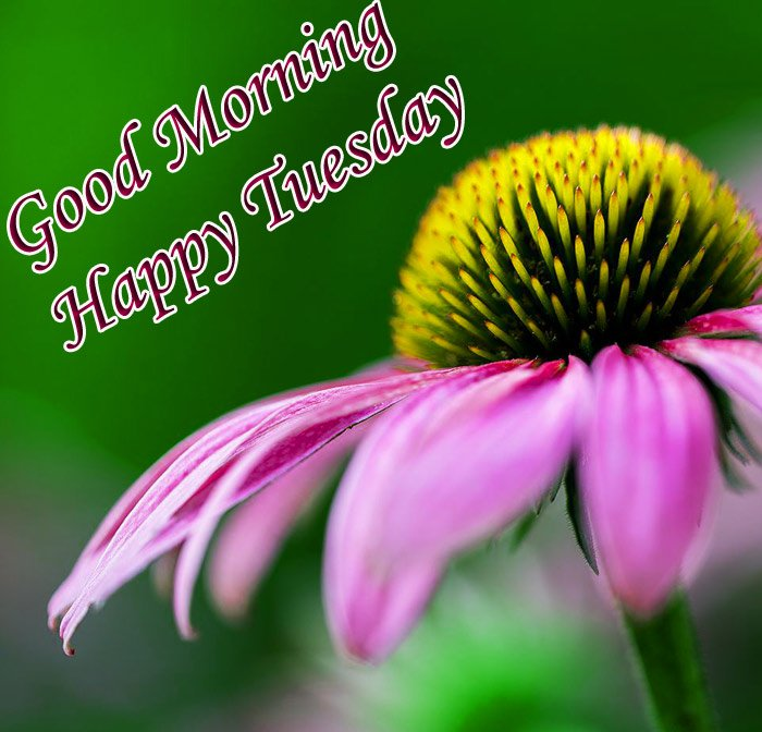 Good morning and happy Tuesday wishes with pink flowers