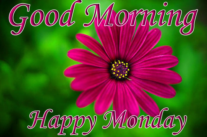 Good morning and happy Monday wishes with dark red Daisy flowers