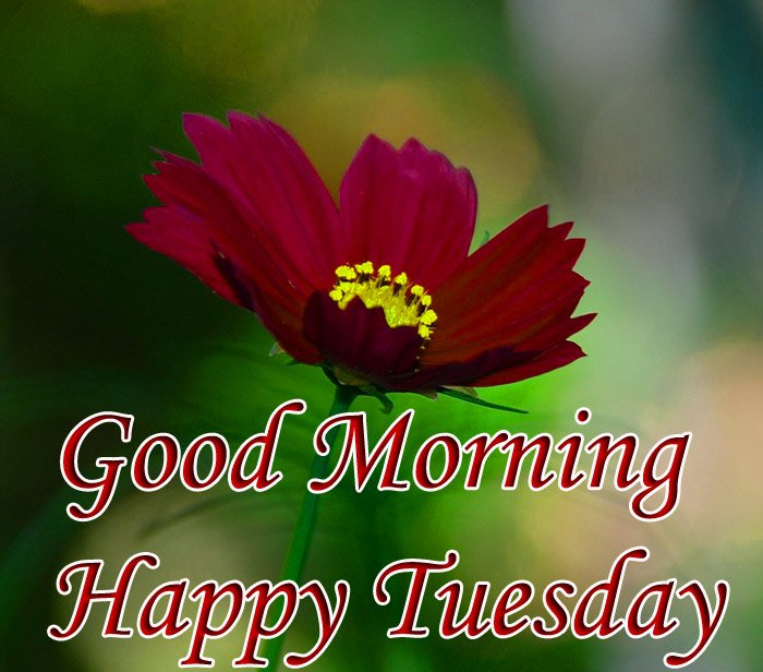 Good morning and happy tuesday wishes with dark red flowers