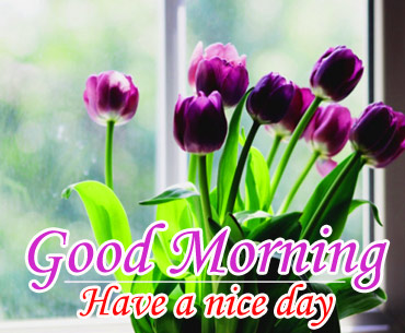 Good morning and have a nice day with purple Tulips flower
