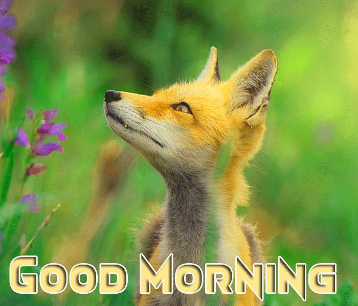 little fox animal cute wall with good morning message