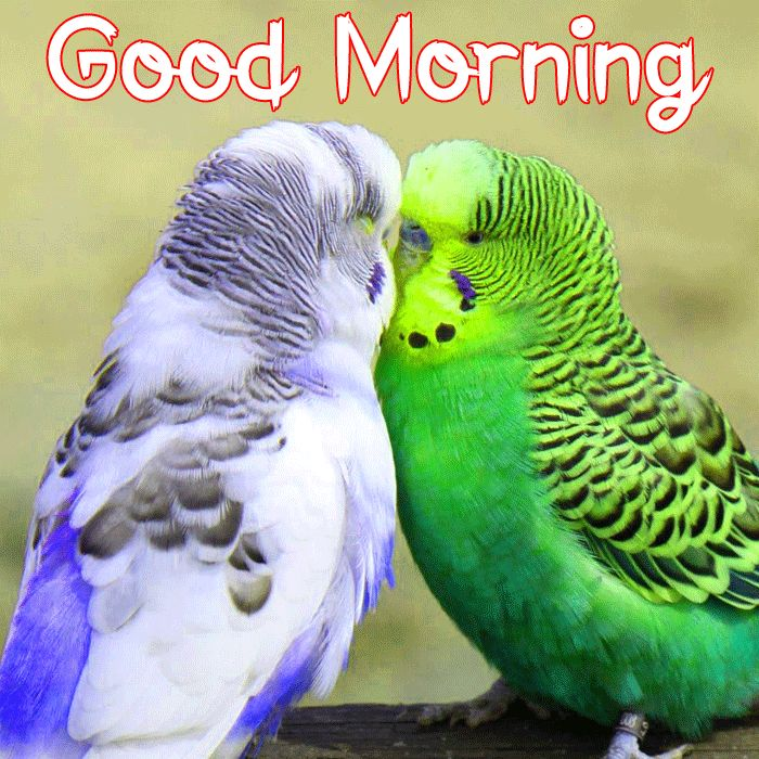 bird love Good Morning hd picture