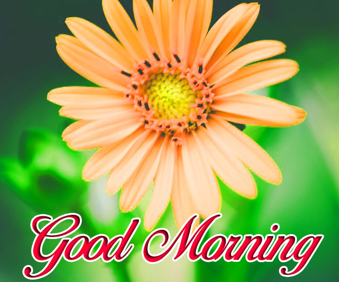 beautiful daisy Good Morning flower hd