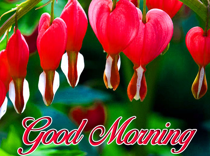 bleeding heart Good Morning images hd