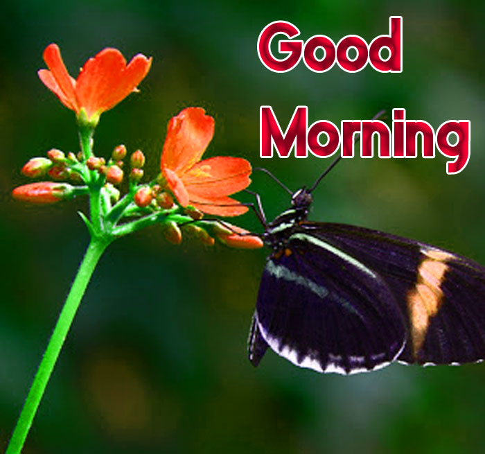 butterfly and flower Good Morning images