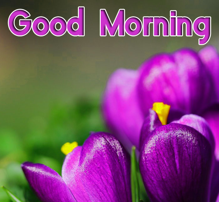 crocus flower Good Morning images