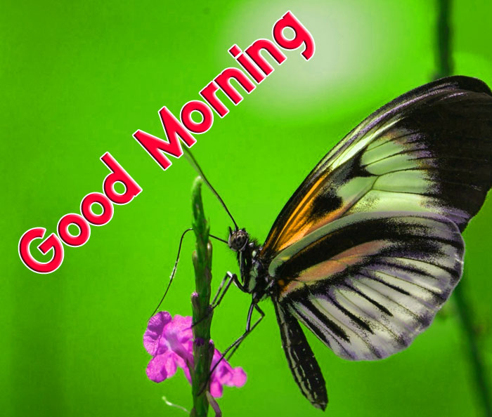cute butterfly Good Morning hd wallpaper