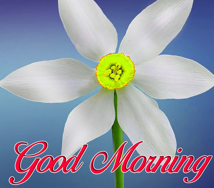 daisy Good Morning white flower images