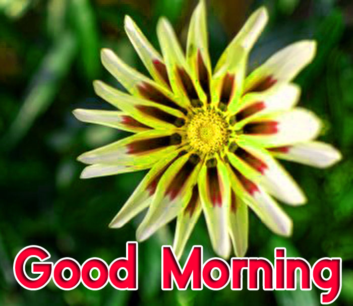 gazania flower Good Morning images