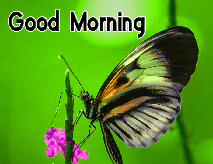 latest Good Morning butterfly Good Morning images