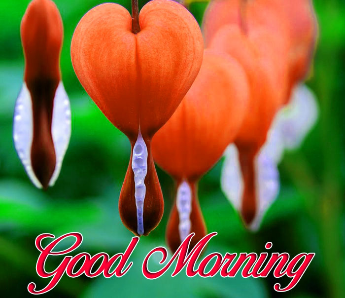 latest bleedinng heart flower Good Morning images