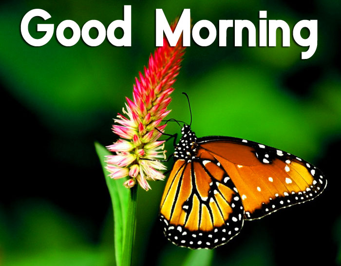 latest butterfly Good Morning hd pics