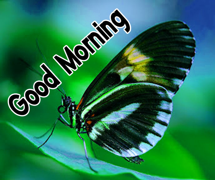 latest butterfly Good Morning hd wallpaper
