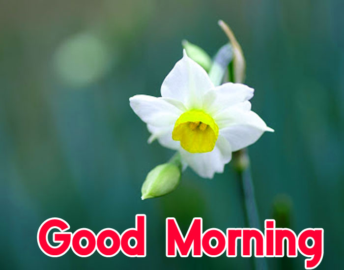 latest lily Good Morning flower hd