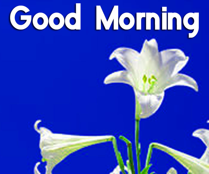 latest lily flower Good Morning pics hd