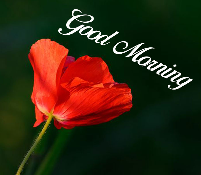 latest red flower Good Morning hd wallpaper