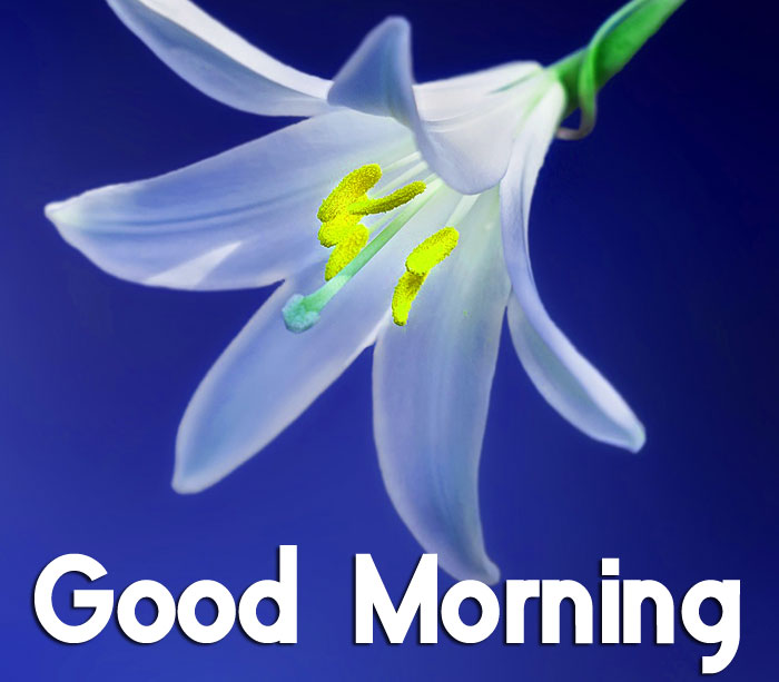 lily flower Good Morning hd