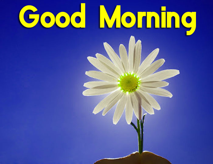 new daisy Good Morning flower hd