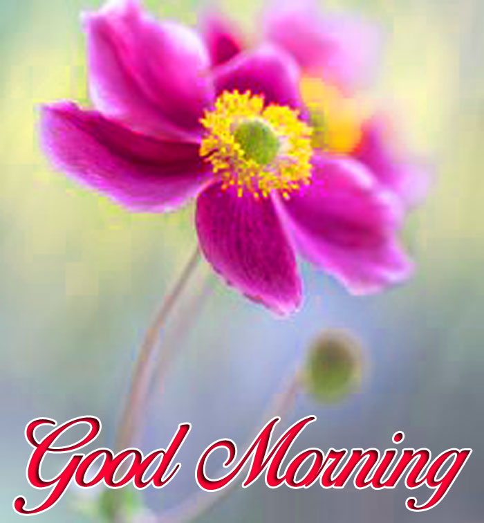 pink daisy Good Morning flower hd