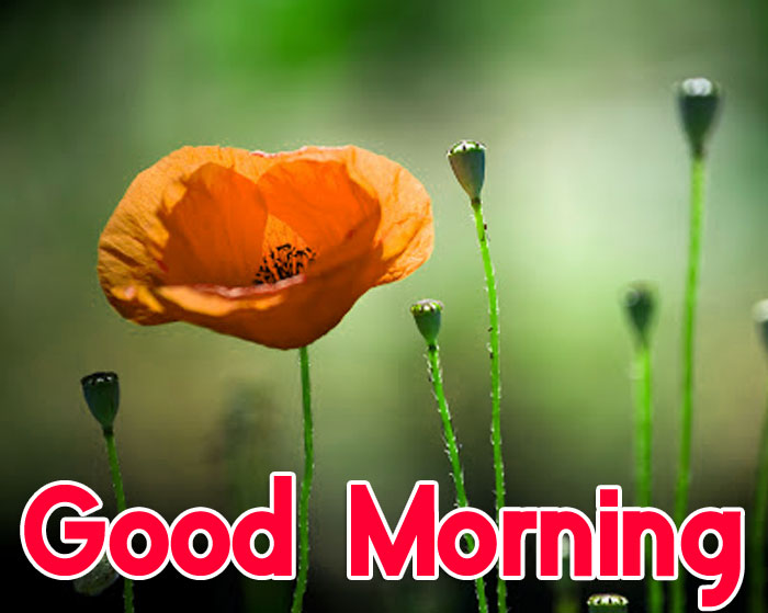 red flower Good Morning hd wallpaper
