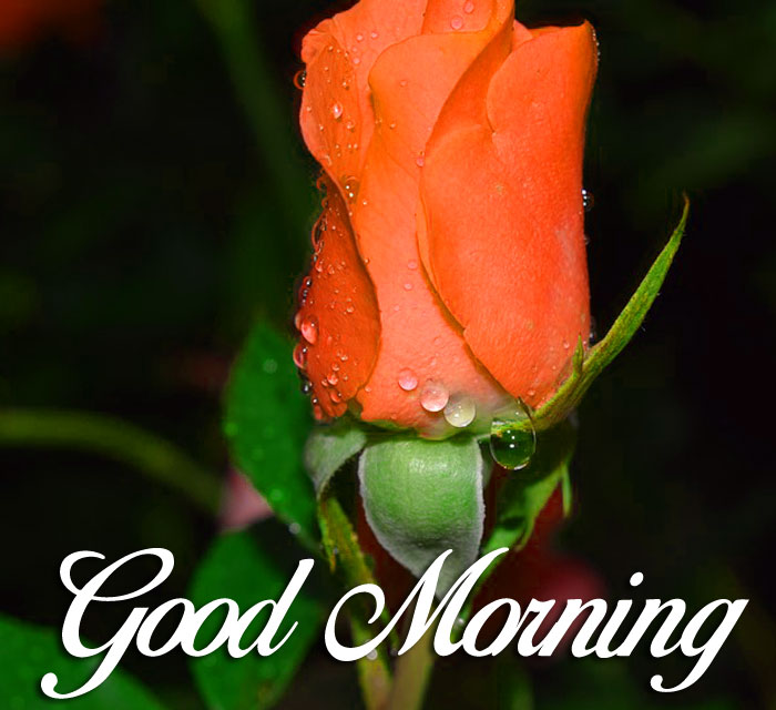 red rose Good Morning flower hd
