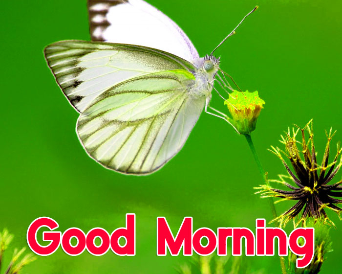 white butterfly Good Morning images