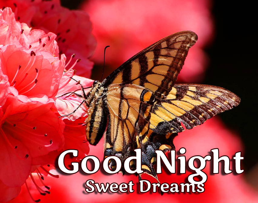 Good Night Butterfly Image