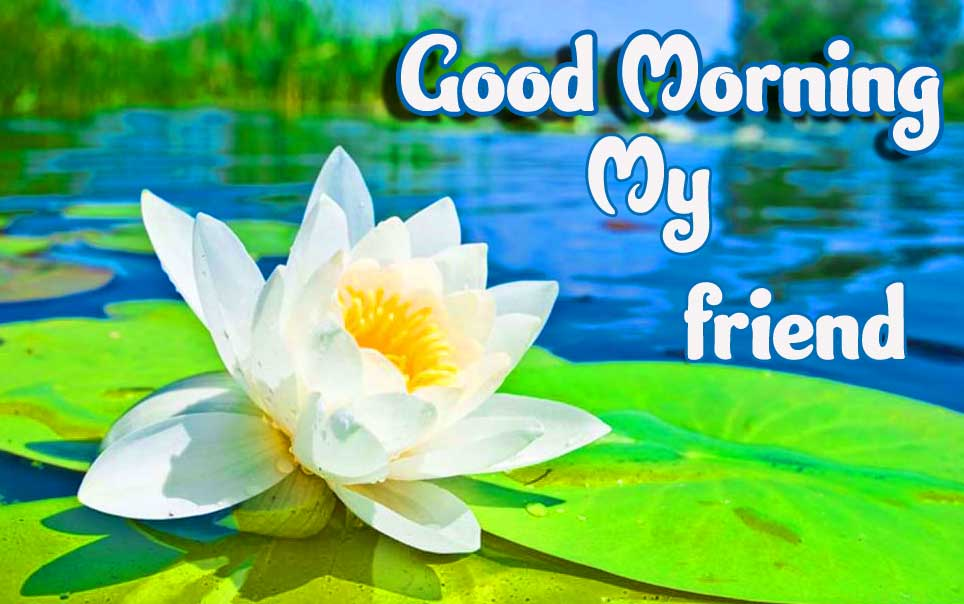 Lotus Good Morning for Your Friend