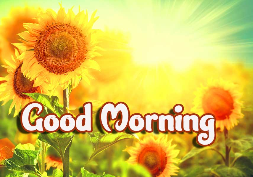 Sunflowers Good Morning Pic HD