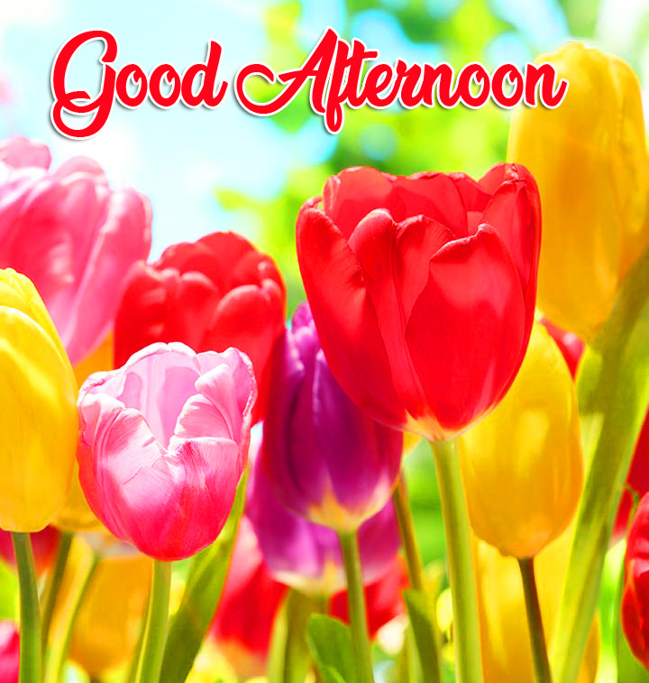 Colourful Tulips Good Afternoon Image