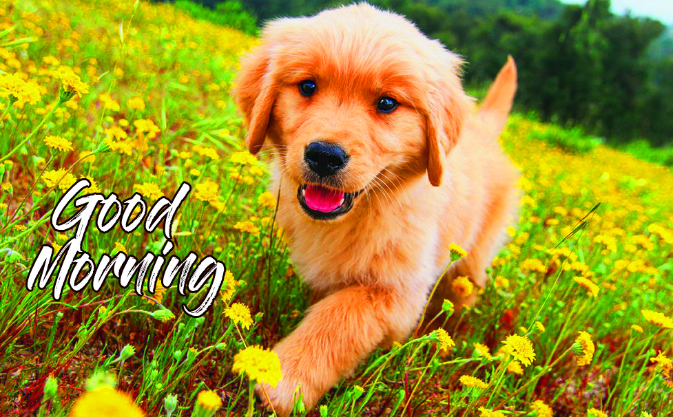 Golden Puppy Good Morning Image