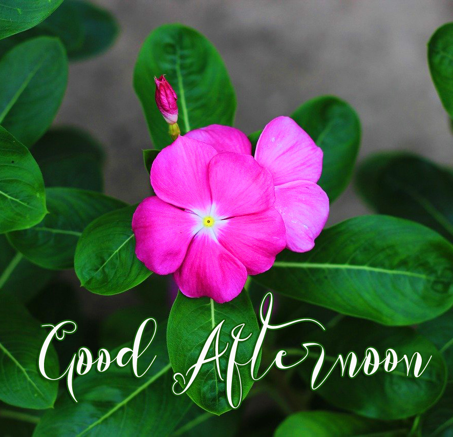 Good Afternoon with Pink Flowers and Green Background
