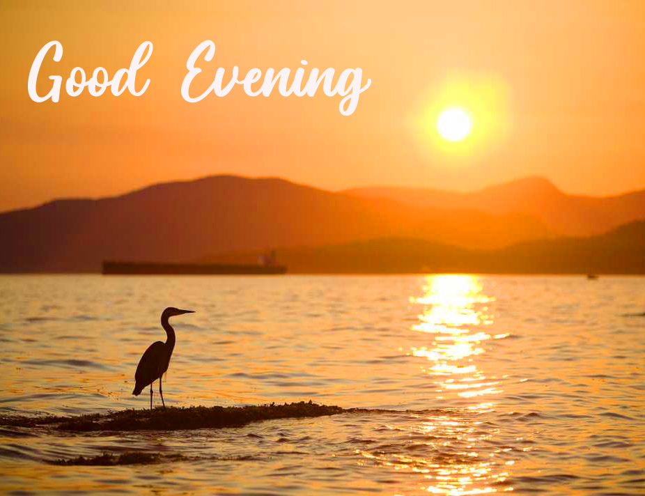 Good Evening with Swan in Sunset
