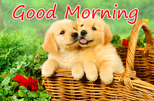 Good Morning with Golden Puppies in Basket