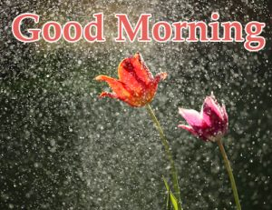 Beautiful Flowers with Good Morning Rainy Pic