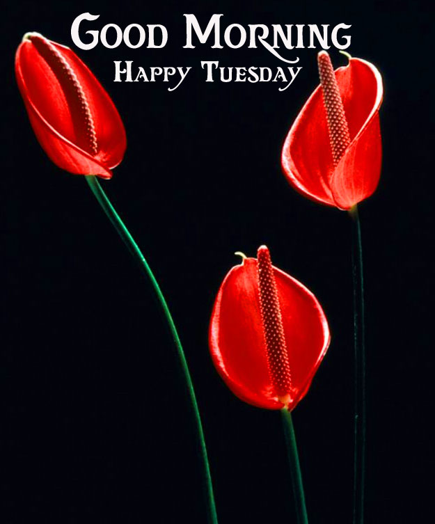 Flowers Good Morning Happy Tuesday Red Photo