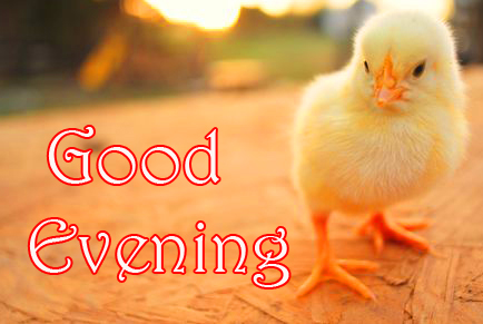 Good Evening Chick Cute Picture
