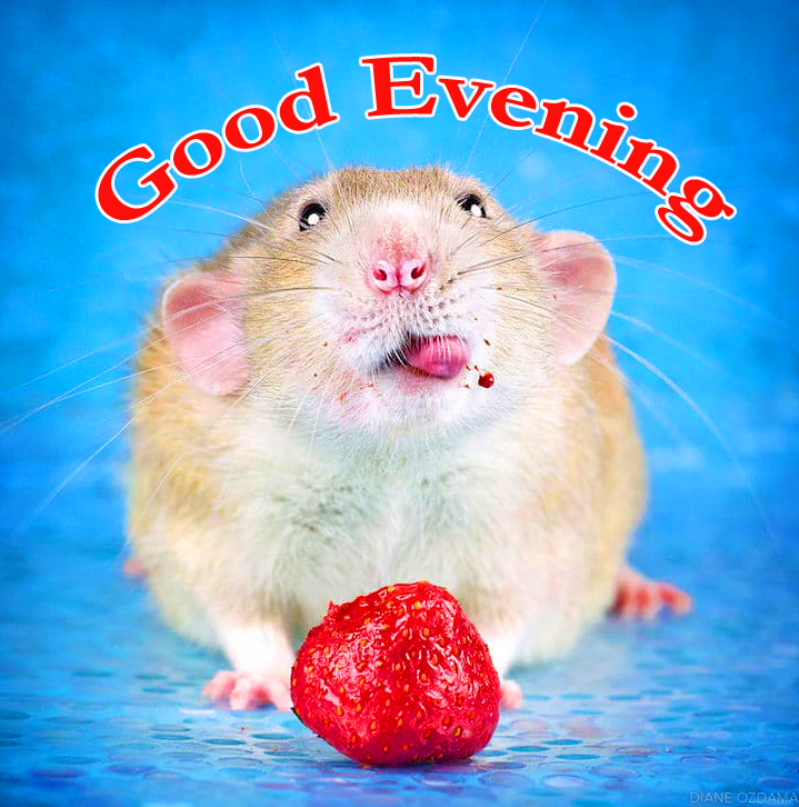 Good Evening with Cute Rat Pic