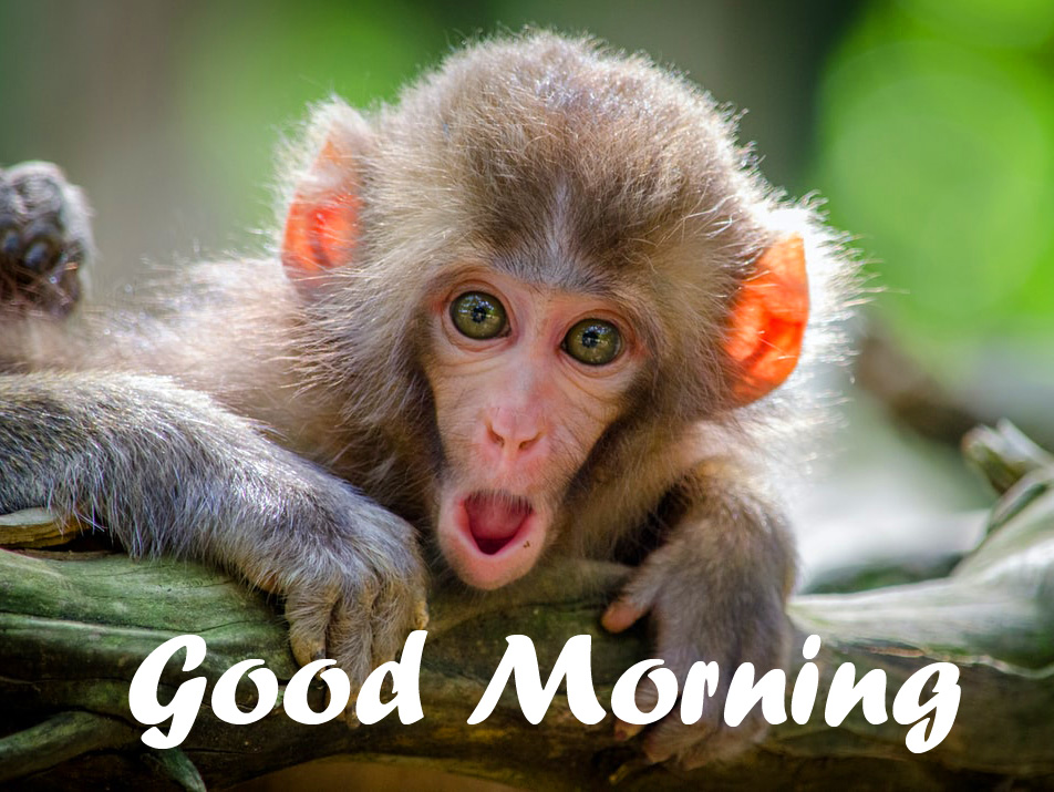 Good Morning with Cute and Funny Monkey