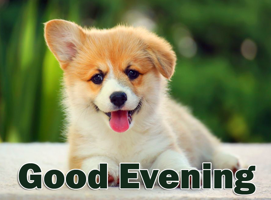 HD Cute Dog Good Evening Picture