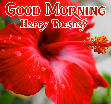 Hibiscus Red Good Morning Happy Tuesday Image
