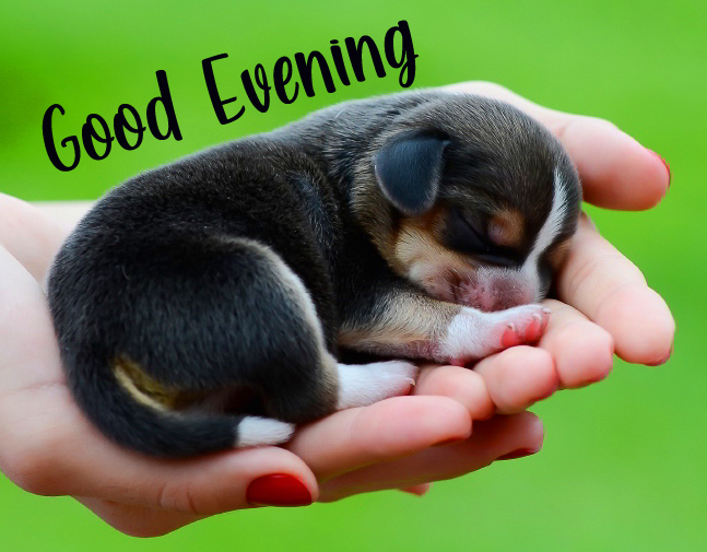 Latest Cute Dog in Hands with Good Evening Wish
