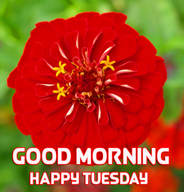 Red Blooming Flower Good Morning Happy Tuesday Image