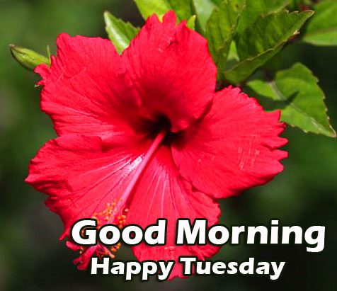 Red Hibiscus with Good Morning Happy Tuesday Wish