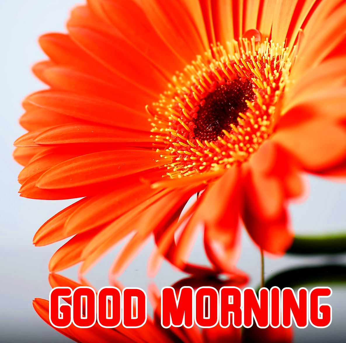 Beautiful Orange Gerbera Flower Good Morning Image