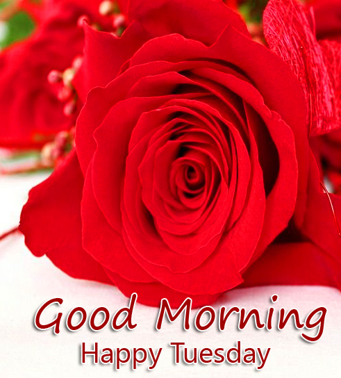 Beautiful Red Rose Good Morning Happy Tuesday Image