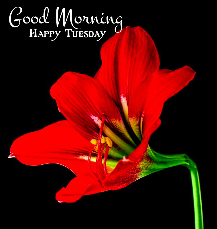 Best Red Flower Good Morning Happy Tuesday Image