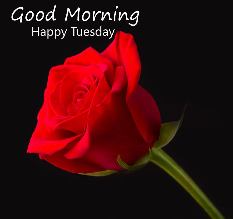 Bright Red Rose Good Morning Happy Tuesday Image
