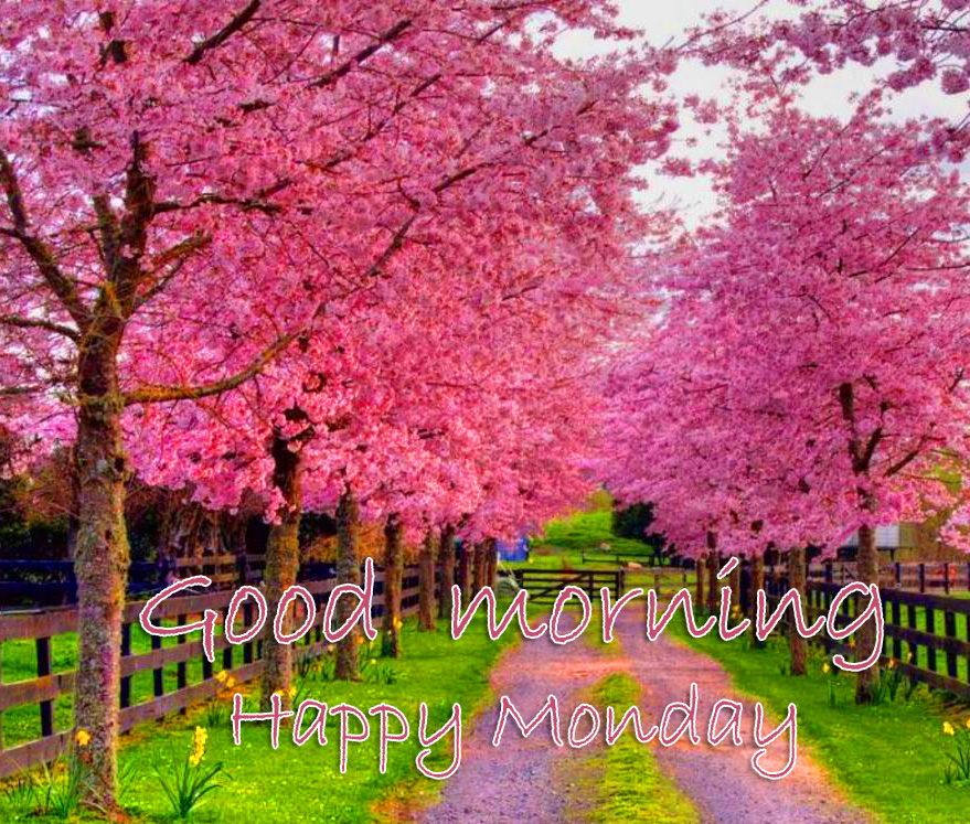 Cherry Blossoms Good Morning Happy Monday Wallpaper