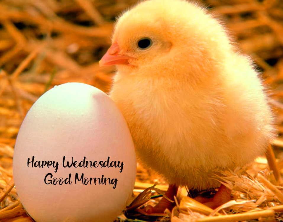 Chick with Egg and Happy Wednesday Good Morning Wish